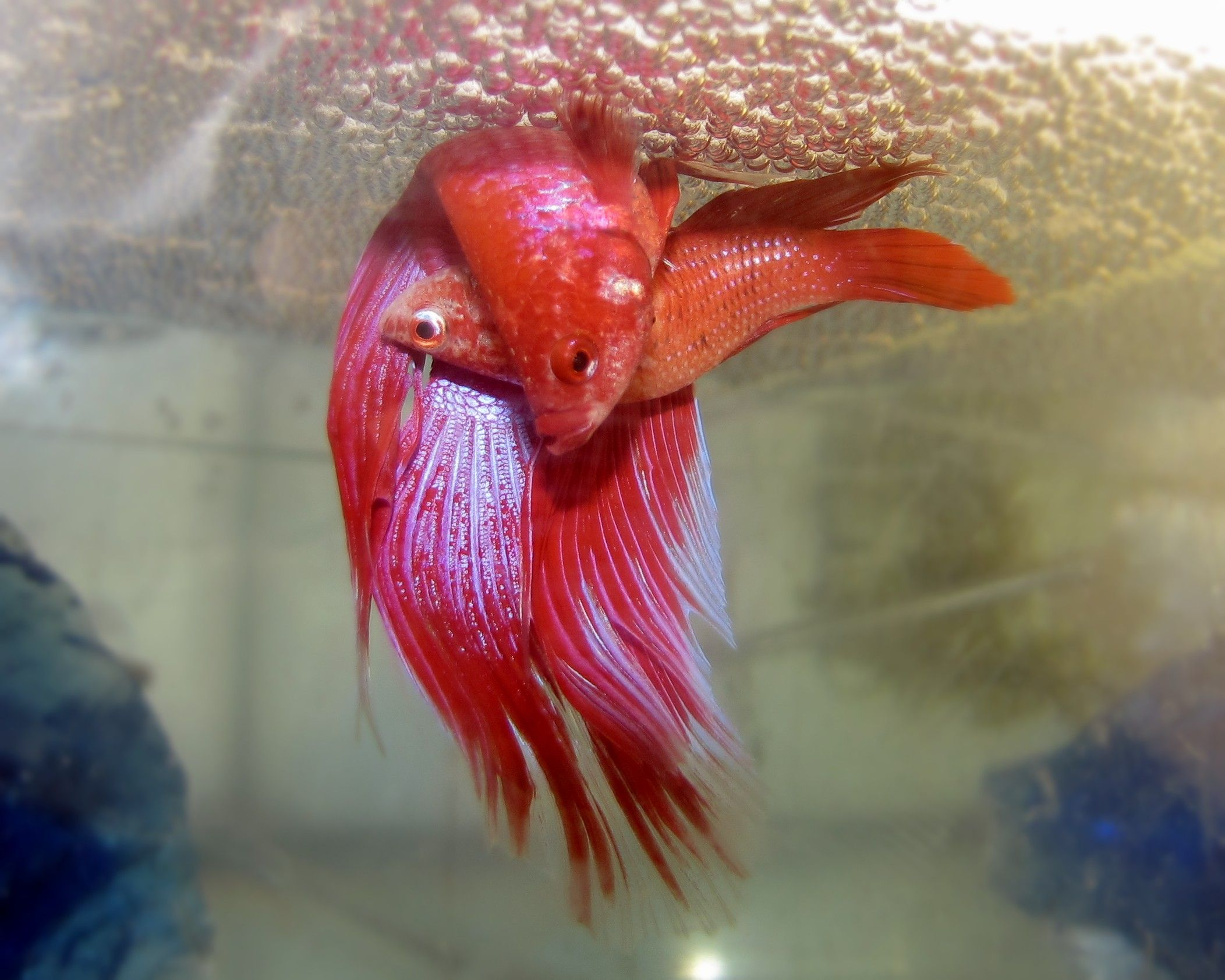 15+ List Different Types of Betta Fish with Pictures | Pinterest ...