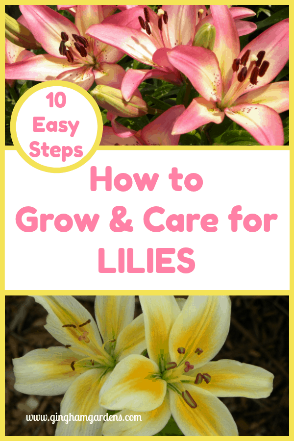How to Grow & Care For Lilies is part of Lily garden, Lily plants, Growing lilies, Lily bulbs, Day lilies care, Planting roses - Lilies are one of the easiest flowers to grow, and stunningly beautiful  Stop by Gingham Gardens and learn How to Grow & Care For Lilies