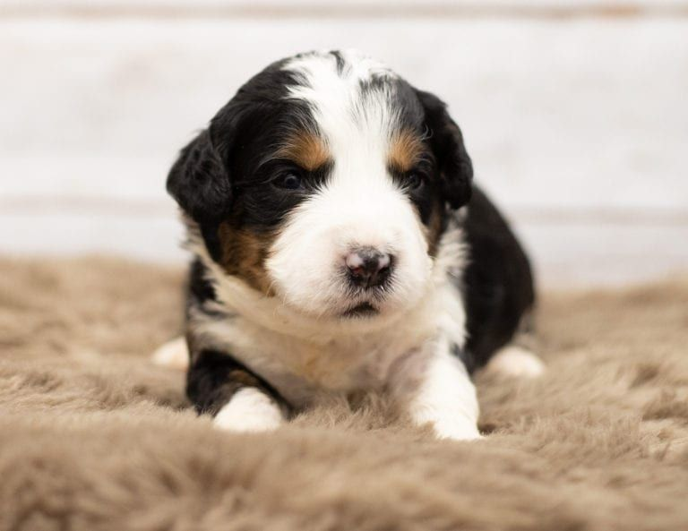 This Is What A 3 Week Old Bernedoodle Puppy Looks Like So