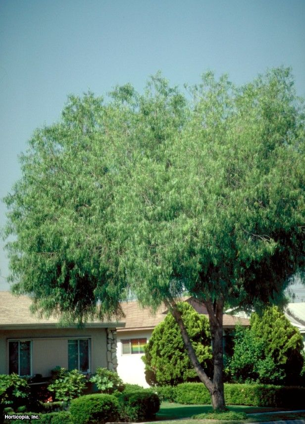 Australian Willow Geijera Parviflora Hgtv Gardens Trees For Front Yard Shade Trees Landscaping Trees