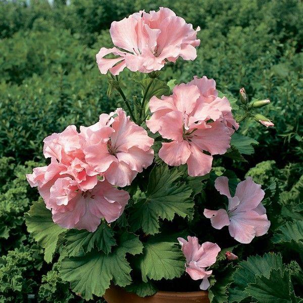 Martha Washington Geraniums Care: Geranium 'Georgia Peach' (Pelargonium Hybrid)