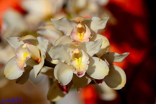 Orquídea, Orchid.
