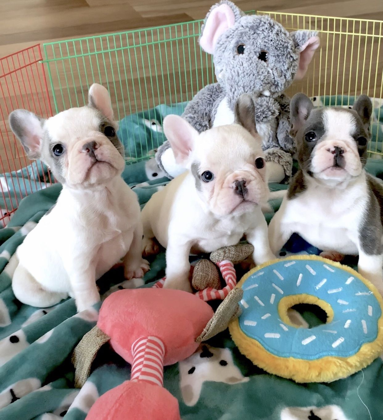 Lexie Brigham Tiny Baxter Blue Pied Beauties Available To Loving Pet Homes Www Poeticfrenchbulldogs Com Love Pet French Bulldog Puppies Puppy Time