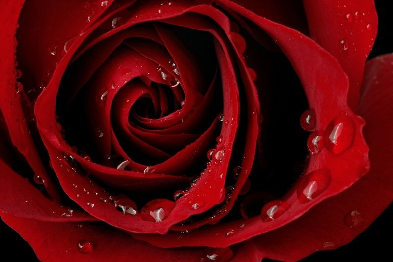 Dark Red Rose Wallpaper Rose Wallpaper 2019 08 09