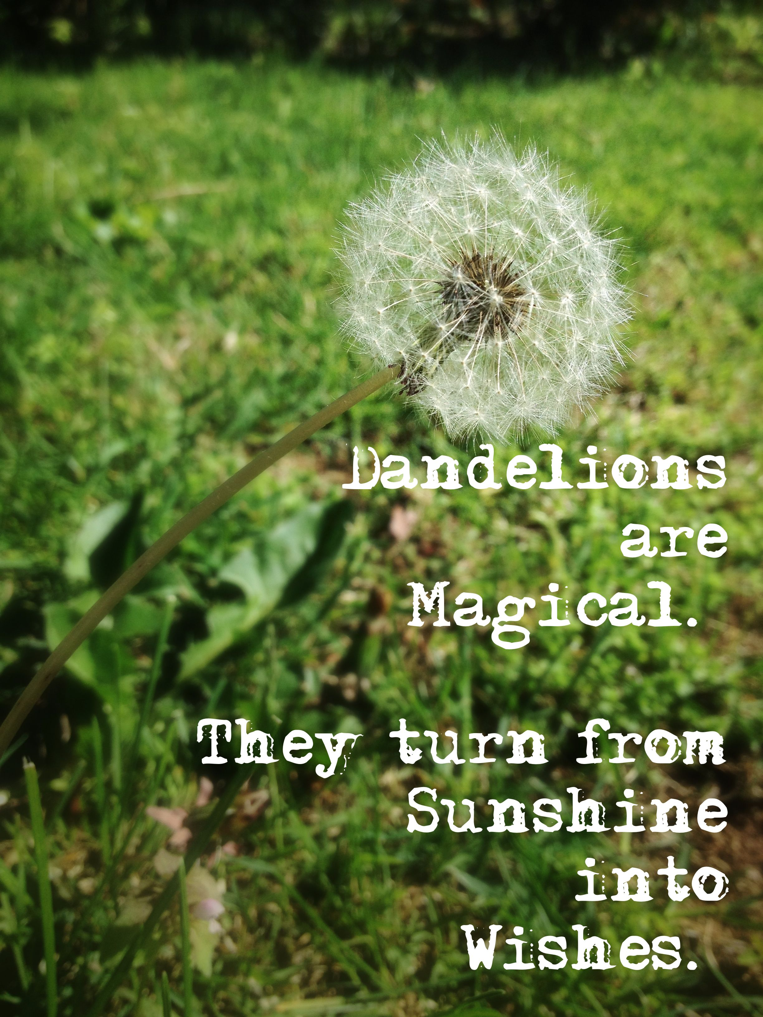 Dandelions are magical they turn from sunshine into