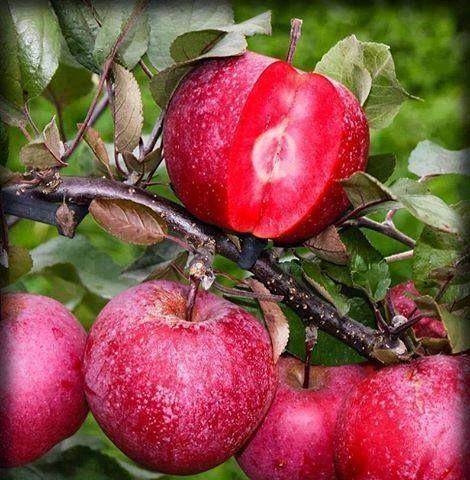 Ardahan'ın Posof ilçesinde yetişen içi ve dışı kırmızı elma... Yörede 46 çeşit elma yetişiyor.