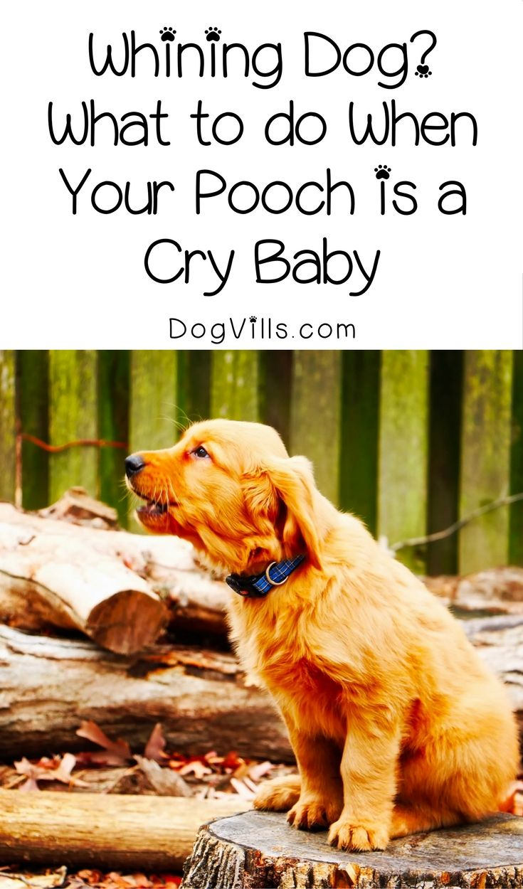 Whining Dog What To Do When Your Pooch Is A Cry Baby Dog