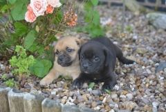 Stunning Little Jug Boys And Girls Puppies For Sale Pug Puppies