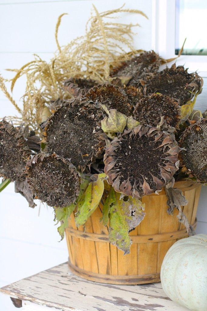 Dried Sunflower Heads in a Bushel Basket