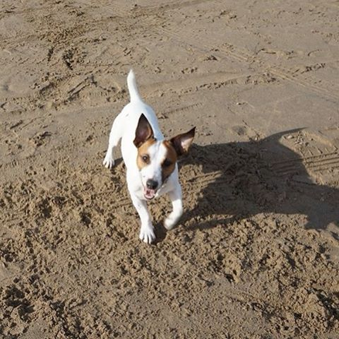 Fun day on the #beach!   #JackRussell #Dog #DogLover #Animal #Pet