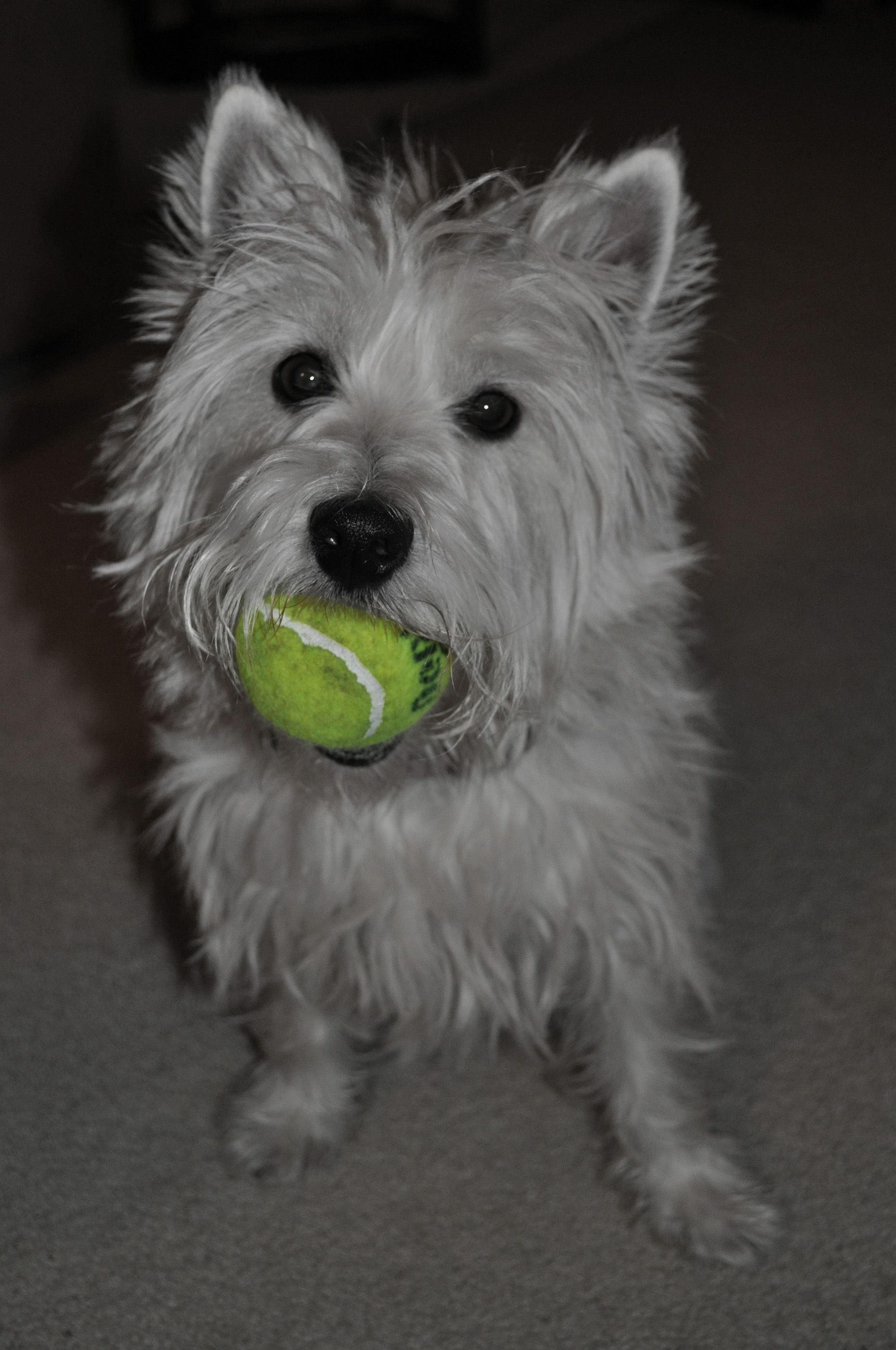Westie Tennis Ball Let S Play Mom With Images Westies Tennis Ball Tennis Team