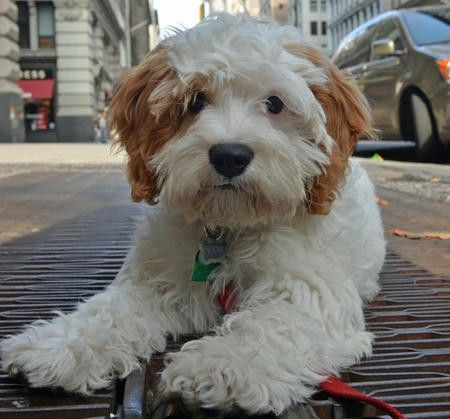 King Cavalier Poodle Mix Reminds me of a stuffed animal