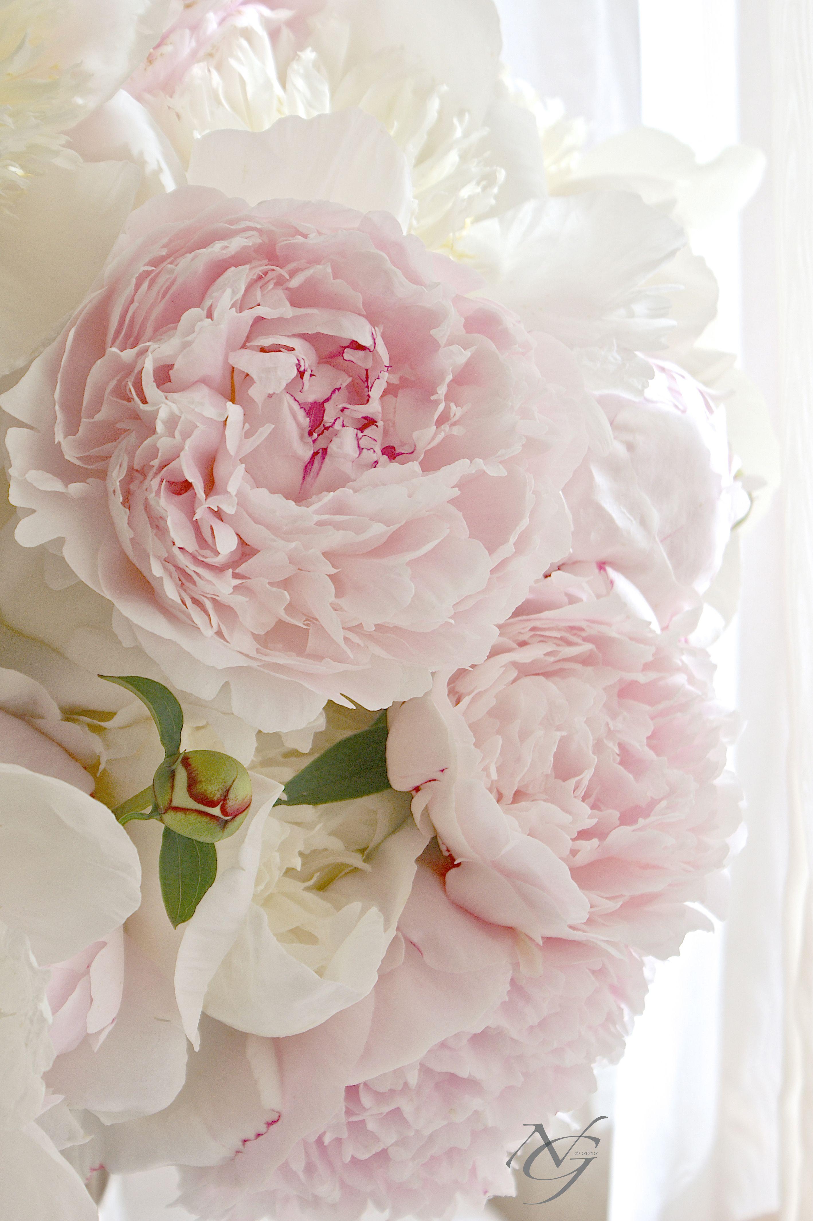 Peonies My Favorite Flower Rosa Pfingstrosen Schone Blumen Pfingstrosen