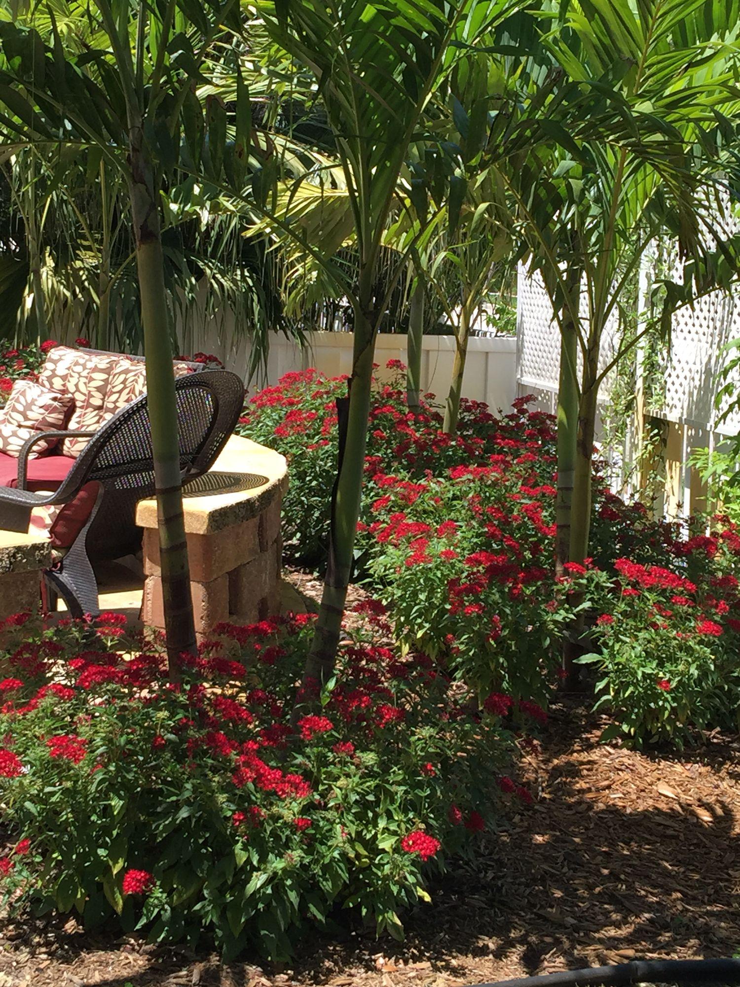 south florida pentas | perfect flowers for sunny south florida