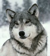 Kamots (Kuh-MOTZ) | Sawtooth Pack | Wolf photos, Beautiful