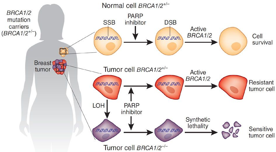 breast cancer gene mutations biology essay Most dna mutations related to breast cancer take place in breast cells during a woman's life rather than  most breast cancers have several acquired gene .