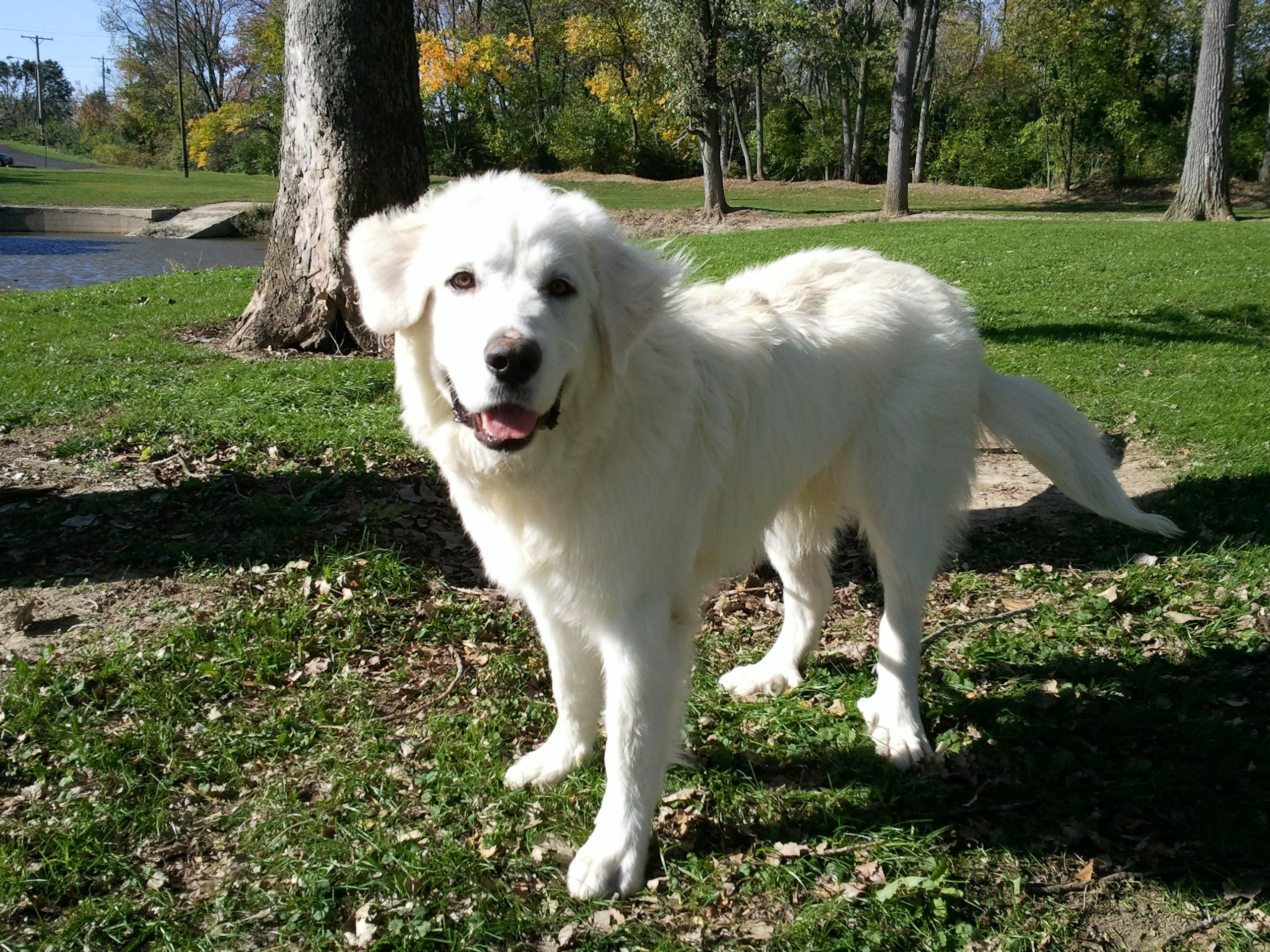 Great Pyrenees Yeti 8 Months Old Great Pyrenees Labrador