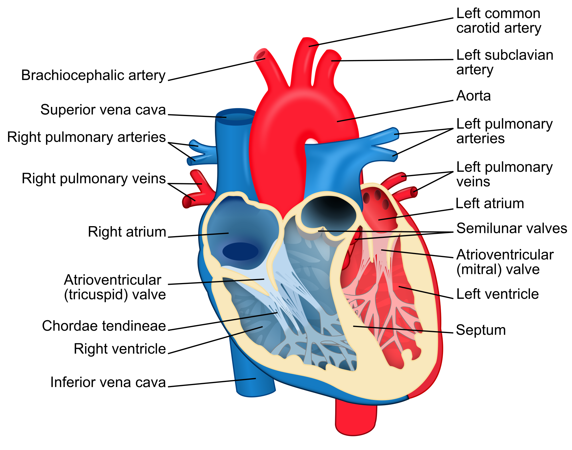 Structural diagram of the human heart an organ that provides a structural diagram of the human heart an organ that provides a continuous blood circulation through pooptronica Choice Image