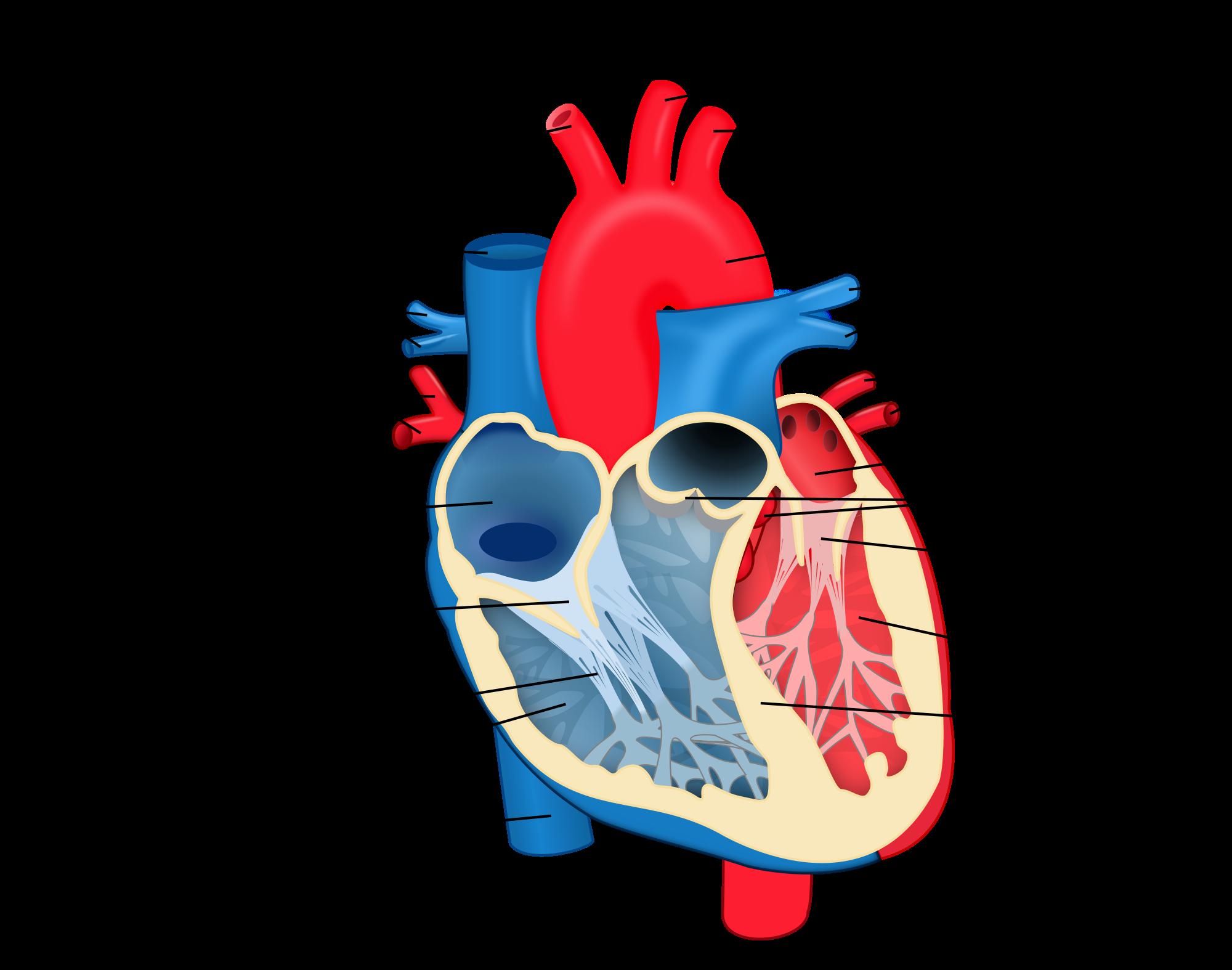 Structural diagram of the human heart an organ that provides a structural diagram of the human heart an organ that provides a continuous blood circulation through pooptronica