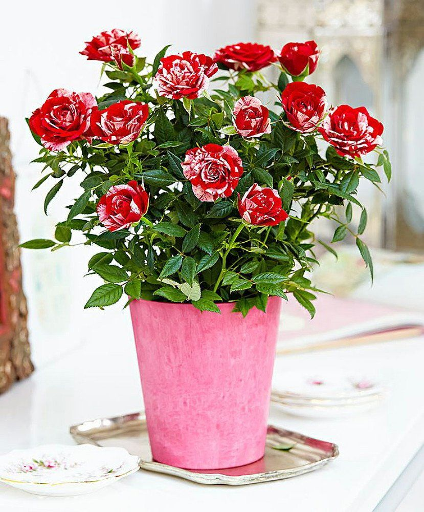 Red Miniature Rose Flower Bouquet Indoor Roses Rose Varieties Rose Scented Products