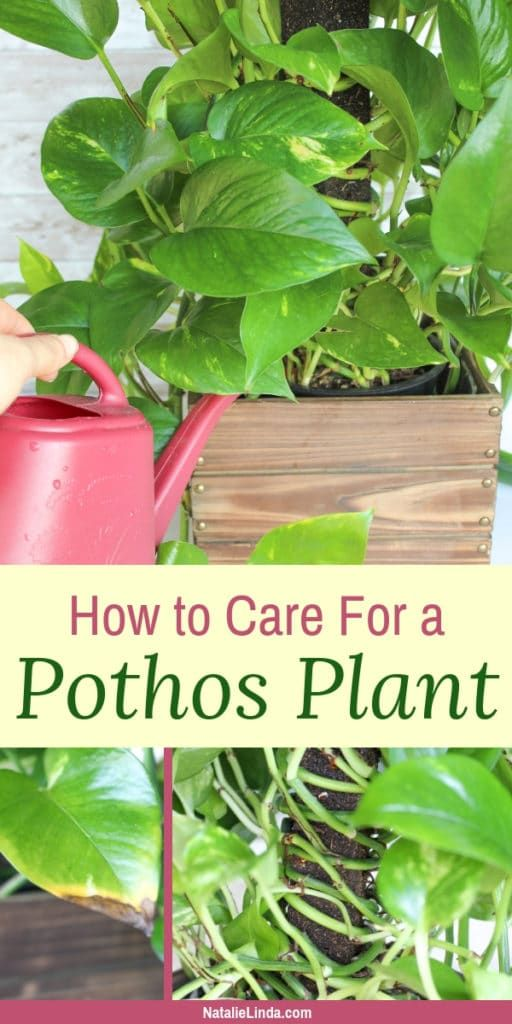 How to Care for a Pothos Plant The Perfect Houseplant for Gardening Beginners – Plants
