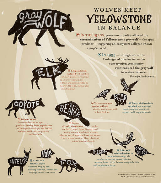 yellowstone food web worksheet answers eripe lupus yellowstone national park wolves worksheet. Black Bedroom Furniture Sets. Home Design Ideas