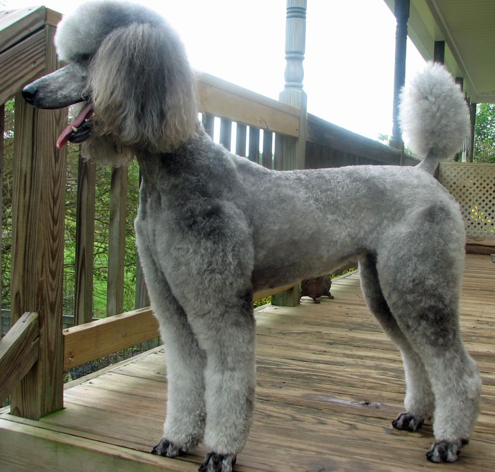 Poodle Cuts and Hairstyles  PetCareRxcom