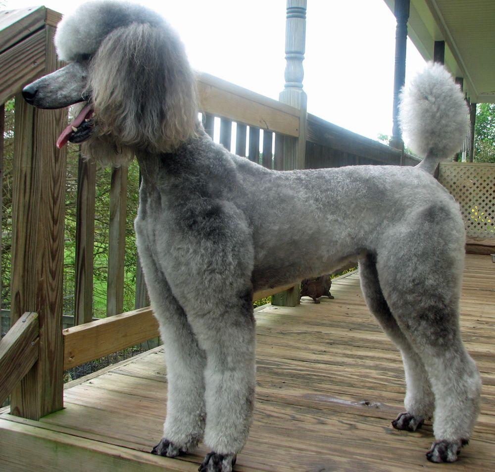 Summer Clip Poodle Dog Dog Love Pretty Poodles
