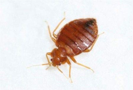 How Do You Get Bed Bugs Bed Bugs Pinterest Bed Bugs Bugs And