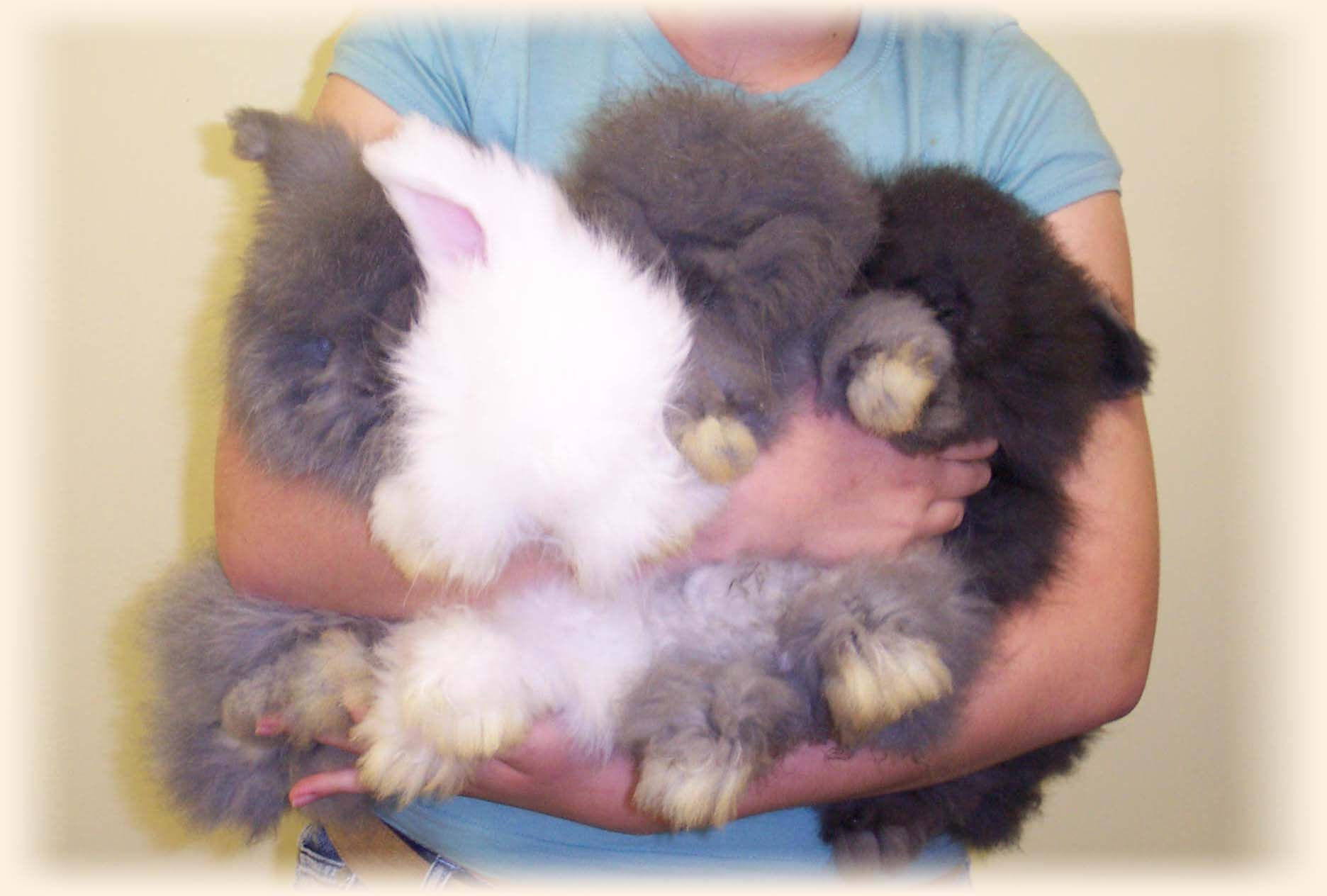 bunnies english angora baby bunnies expected new arrivals some