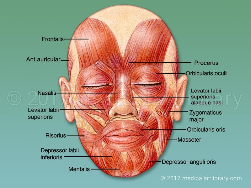 License Image The Muscles That Control Facial Expression Also Called Mimetic Muscles These Muscles Ar In 2020 Muscles Of The Face Facial Nerve Facial Muscles Anatomy