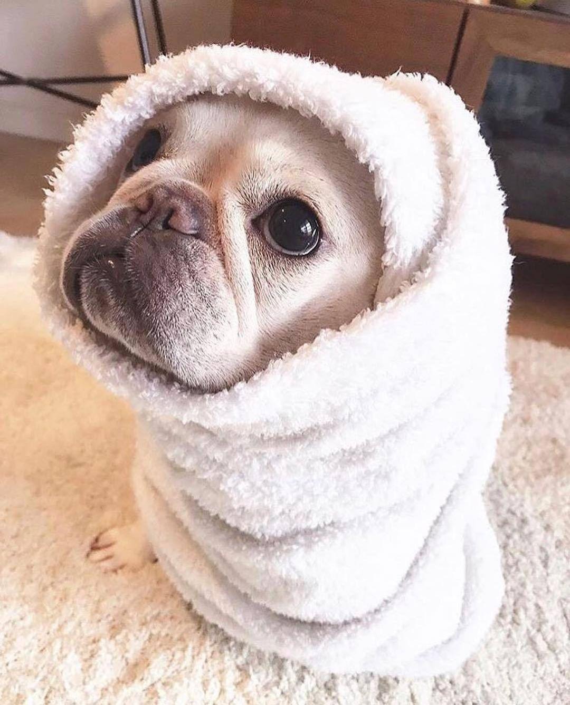 French Bulldog Hygiene Www Frenchbulldogsecrets Com Cute