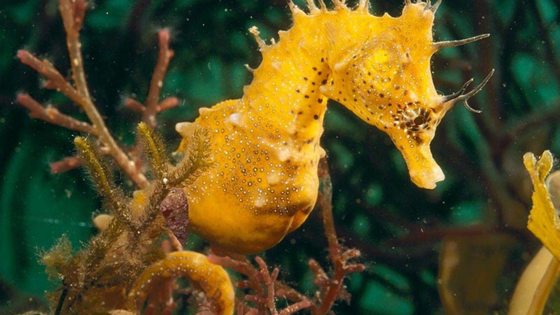 Sea-horse ~ Cavall de mar