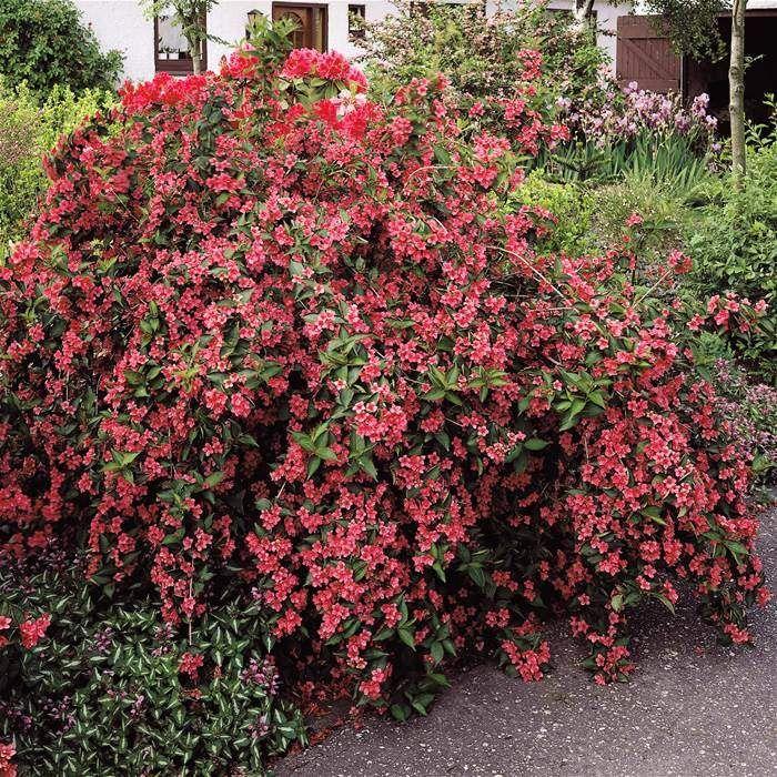 5 arbustos coloridos para realzar nuestro jard n for Arbustos en jardines