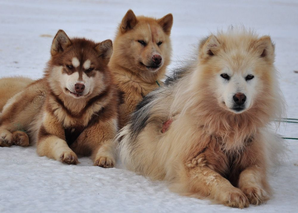 A Greenlandic Dog What Are They Greenland Dog Rare Dogs Dogs