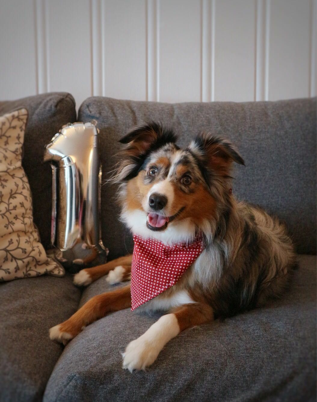 Miniature American Shepherd Puppies For Sale California 2021