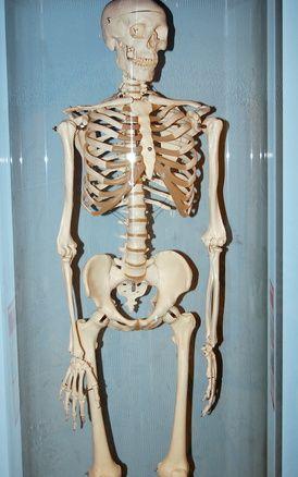 Lesson Plans on Bones for 2nd Grade   Skeletal system ...