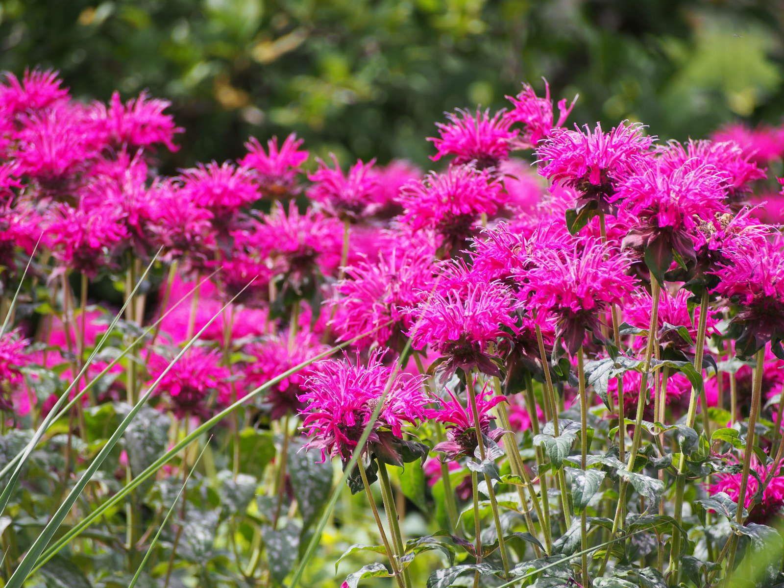 Pflanzen Gegen Mucken Naturliche Muckenabwehr Plantura Pflanzen Gegen Mucken Bienenfreundliche Pflanzen Staudengarten