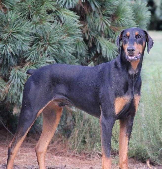 Adopt Moses On Doberman Pinscher Dog Animal Rescue Doberman
