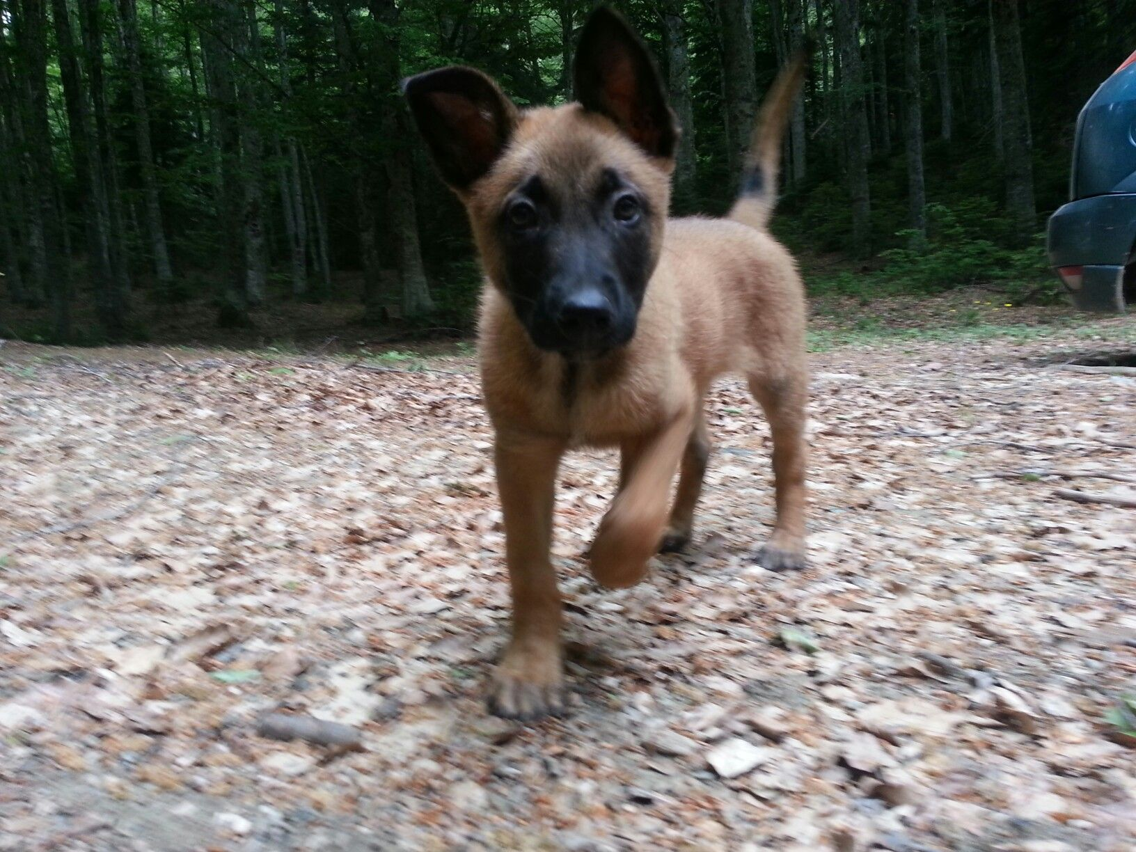 Pin By Sharon Sewell On Malinois Belgian Malinois Malinois Working Dogs