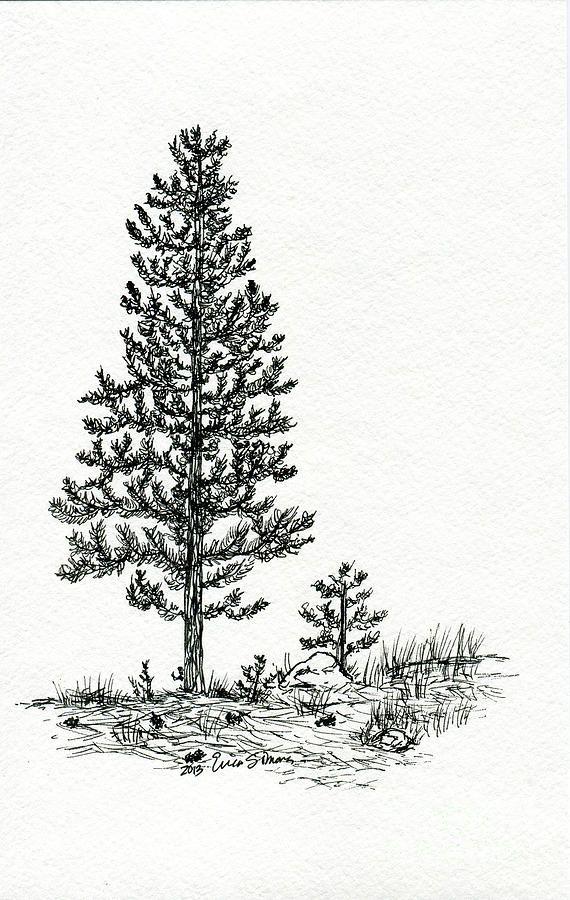 Pine Tree Pencil Drawing : pencil, drawing