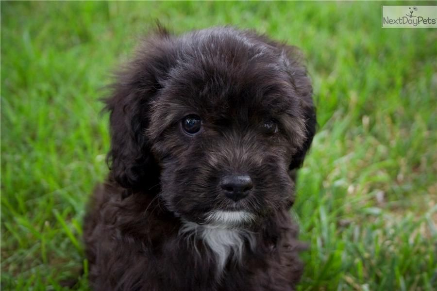 Meet Izzy A Cute Cavapoo Puppy For Sale For 1 485 Izzy Playful