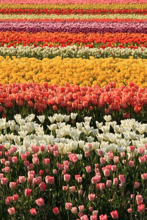 tulipas!