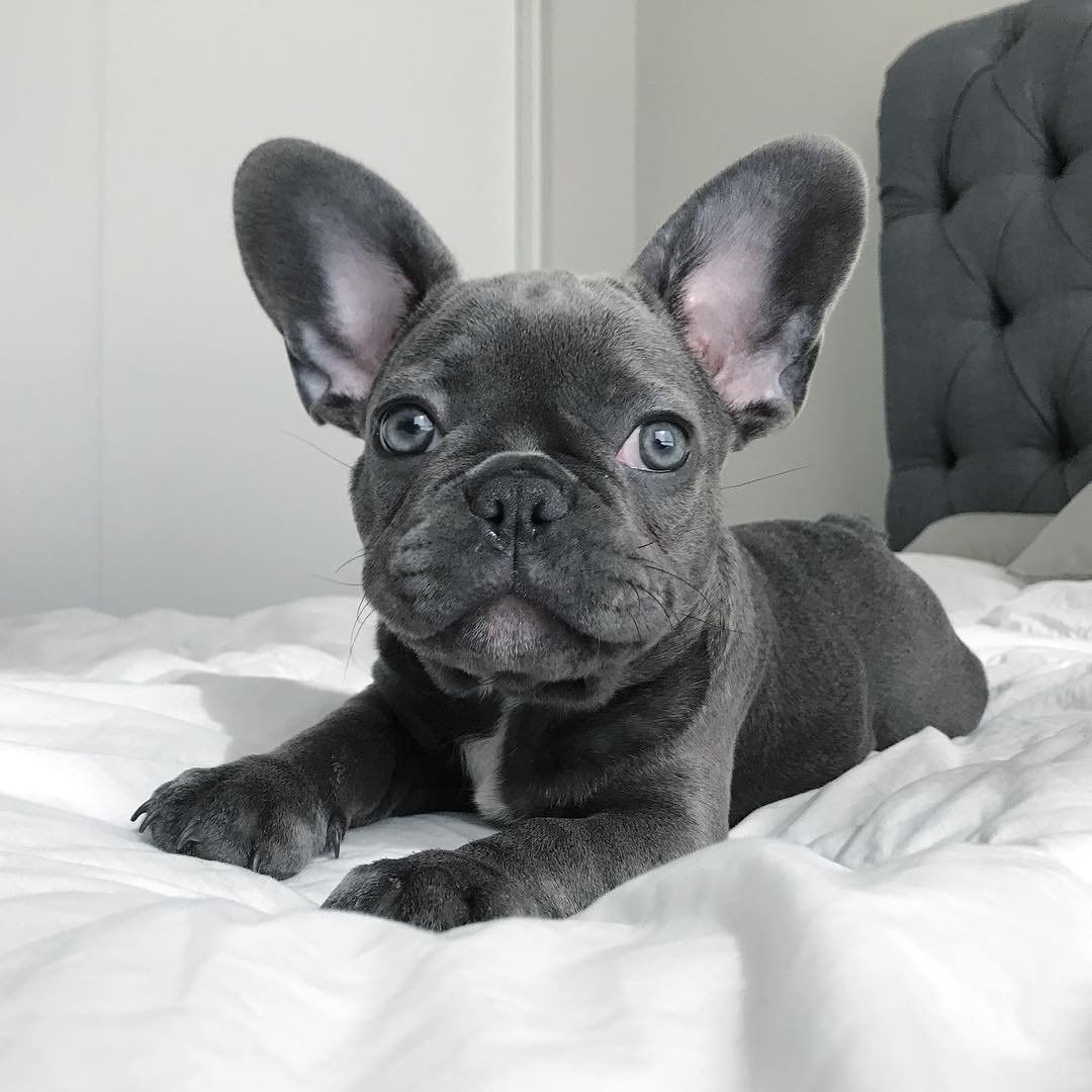 Blue Eyed Bb Lovelulus Via Winterthebluefrenchie French