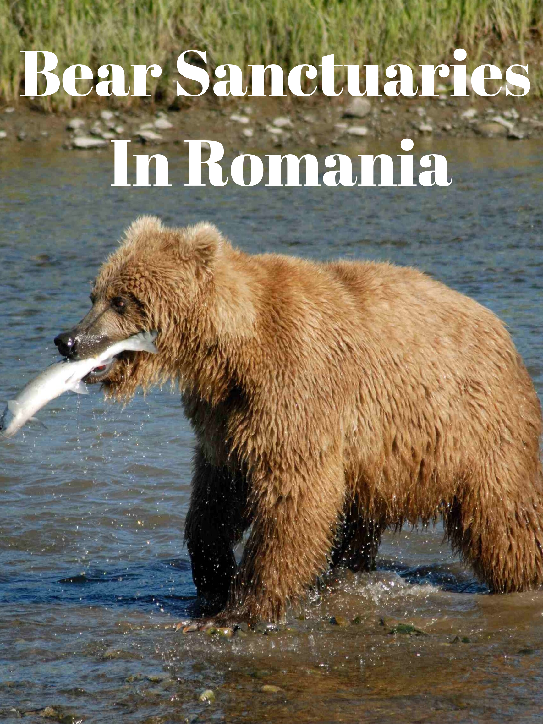 Romania Tracking Bears And Visiting Their Sanctuary Bear