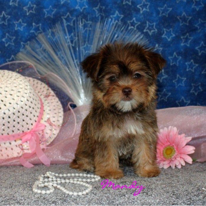 Puppies For Sale Shorkies Yorkshire Terriers Yorkies Mandy
