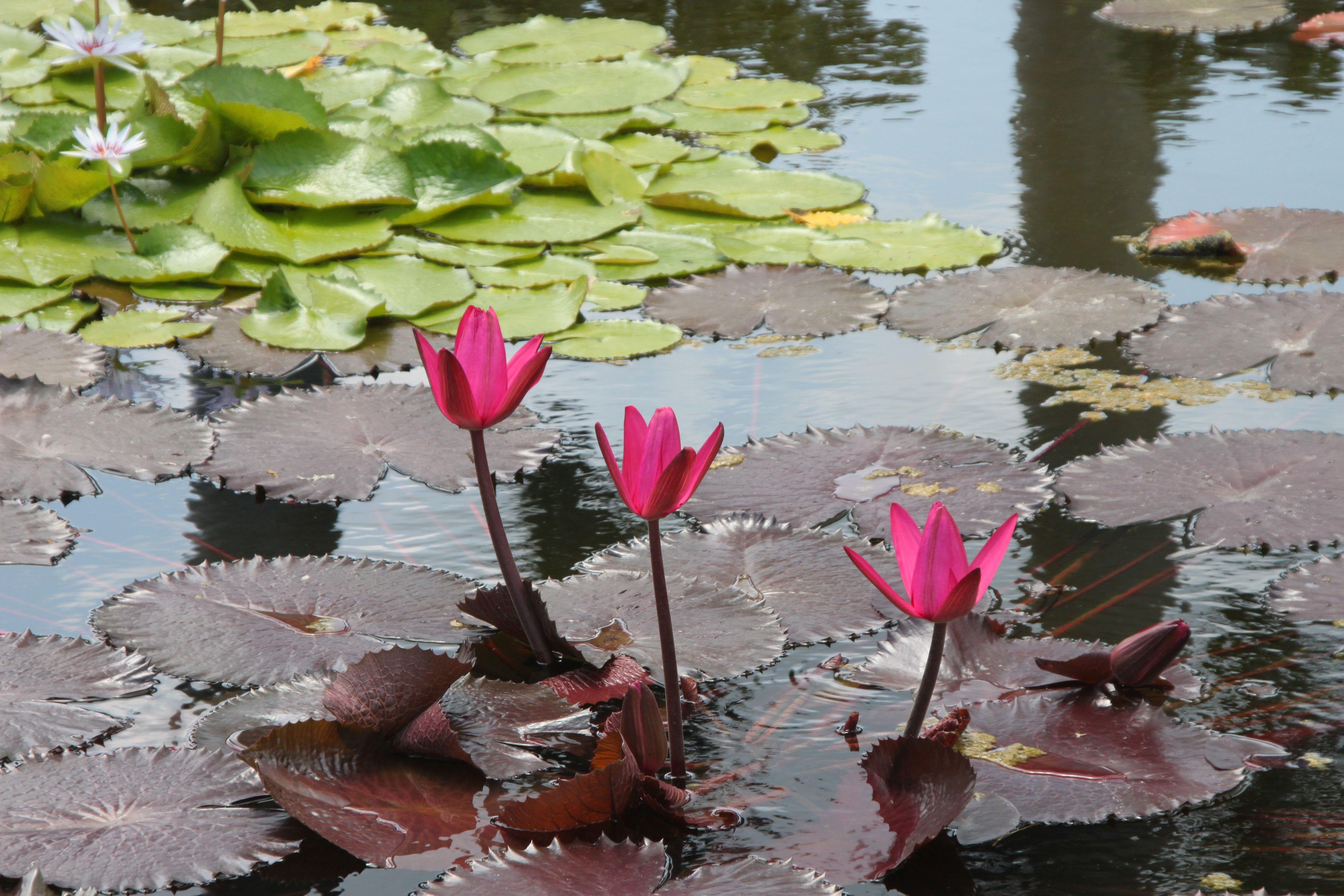 Water flowers, Grand Cayman - Queen's Garden