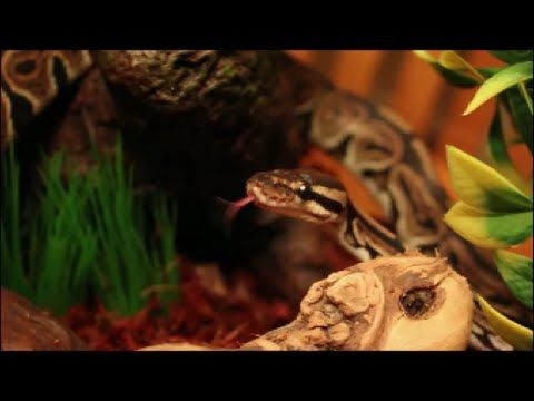 How To Set Up A Ball Python Enclosure Meet Nagini Pet