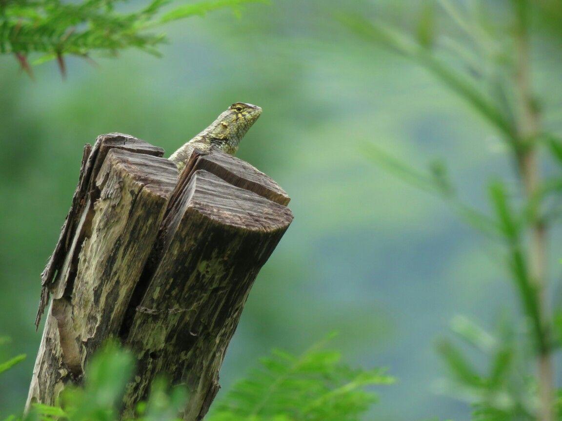 Lagartija de arbol en un poste del  cercado