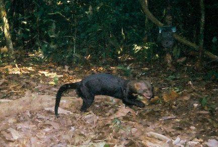Amazon Weasel